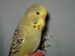 Выставочный волнистый попугай(Чех)